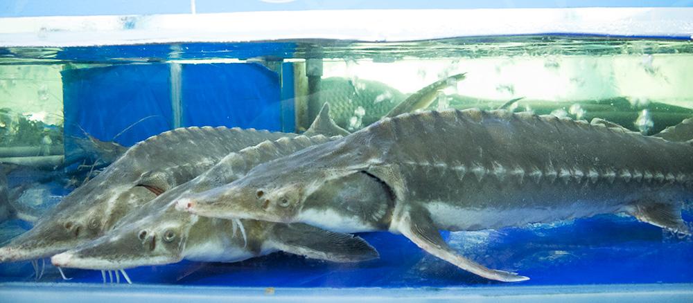 Lẩu cá tầm, cá hồi